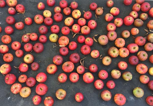 AppleHarvest1.jpg