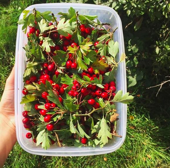 HawthornBerries